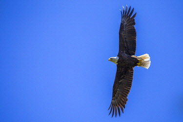 CAN3498 Bald eagle soaring with wings outstretched against a clear blue sky, Vancouver Island, British Columbia, Canada