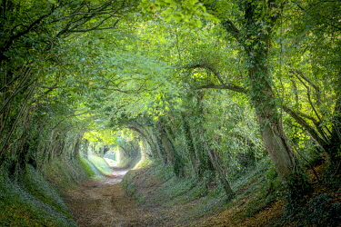 Tunnel of trees leading to Halnakar Windmill, West Sussex, England