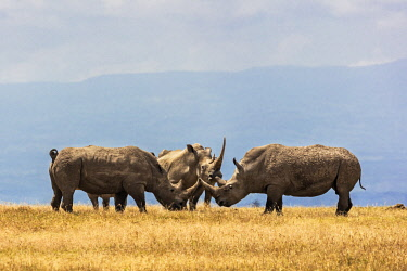 KEN11429 Kenya, Ol Pejeta, Laikipia County.  Three White rhinos on the plains at Ol Pejeta Conservancy.