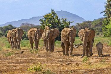 KEN11440 Kenya, Tsavo East National Park, Taita-Taveta County.  A small herd of elephants on the move.