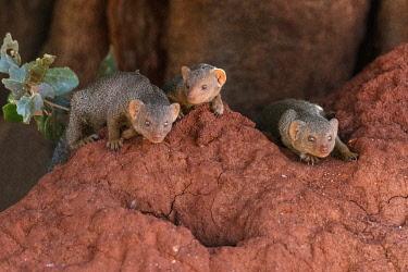 KEN11460 Kenya, Tsavo East National Park, Taita-Taveta County.  Dwarf mongooses on a red termite mound.