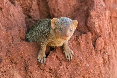 KEN11462 Kenya, Tsavo East National Park, Taita-Taveta County.  A Dwarf mongoose on a red termite mound.