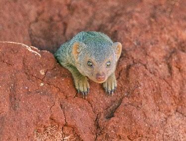 KEN11463 Kenya, Tsavo East National Park, Taita-Taveta County.  A Dwarf mongoose on a red termite mound.