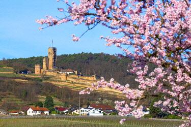 GER11739AWRF Flourishing almond trees with castle ruin Burg Wachenheim, Wachenheim, Rhineland-Palatinate, Germany