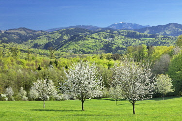 IBXMAL04859442 Cherry blossom near Ebringen with view to the mountain Blauen, Markgraeflerland, Black Forest, Baden-Wurttemberg, Germany, Europe
