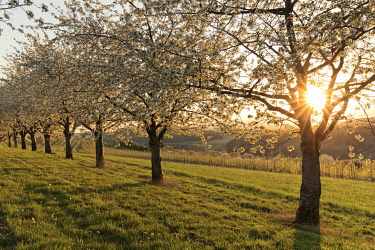 IBXMAL04859473 Sun shines through blossoming cherry trees, cherry blossom, near Obereggenen, Eggen valley, Markgraeflerland, Black Forest, Baden-Wurttemberg, Germany, Europe