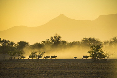 IBXRUN04838878 Silhouettes of cattle, herd walking in dusty savannah at sunset, Damaraland, Namibia, Africa