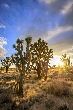 IBXVFW04837313 Joshua Trees (Yucca brevifolia) at sunset, Mojave desert, desert landscape, Mojave National Preserve, California, USA, North America