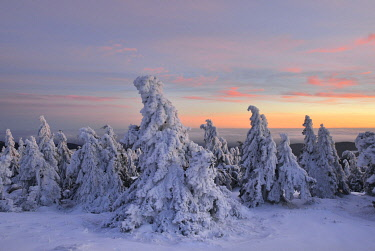 IBLKKP04826901 Snow-covered spruces on the Brocken, afterglow, Harz National Park, Saxony-Anhalt, Germany, Europe
