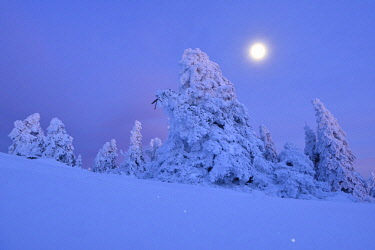 IBLKKP04826905 Snow-covered spruces on the Brocken in moonlight, Harz National Park, Saxony-Anhalt, Germany, Europe
