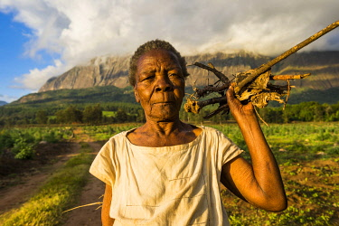 IBLRUN04828664 Old woman with firewood on her way home before Mount Mulanje, Malawi, Africa