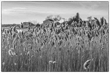 US03593 USA, New England, Massachusetts, Cape Ann, Essex, village of Conomo Point, reeds