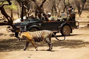 IND8567 India, Rajasthan, Ranthambore. A young tiger walking in front of photographers in a jeep.