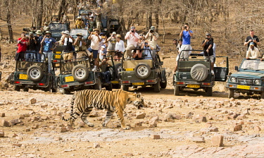 IND8577 India, Rajasthan, Ranthambore. A young tiger walking in front of jeeps full of tourists.