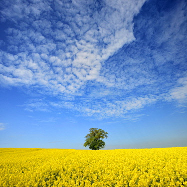IBLAVI04815478 Flowering rape field with solitary oak under blue sky with sheep clouds, Mecklenburgische Schweiz, Mecklenburg-Western Pomerania, Germany, Europe
