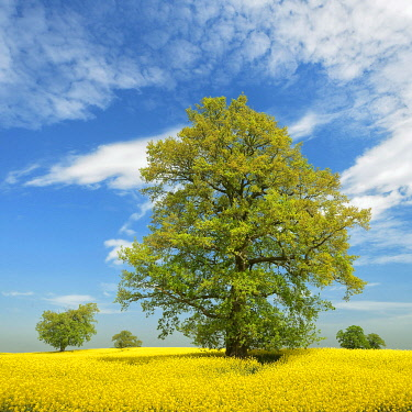 IBLAVI04815482 Blooming rape field with old solitary oaks, blue sky with fair weather clouds, Mecklenburgische Schweiz, Mecklenburg-Western Pomerania, Germany, Europe