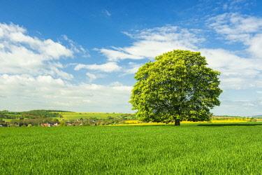 IBLAVI04820780 Cultural landscape, solitary flowering chestnut tree in grainfield, Burgenlandkreis, Saxony-Anhalt, Germany, Europe