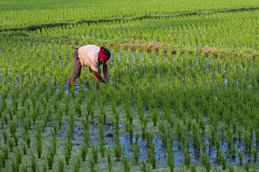 IBLJOR04820559 Rice farmer at work in the rice field, Bali, Indonesia, Asia