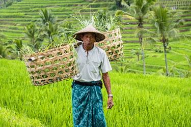 IBLJOR04822311 Rice farmer in the rice terraces of Jatiluwih, Bali, Indonesia, Asia