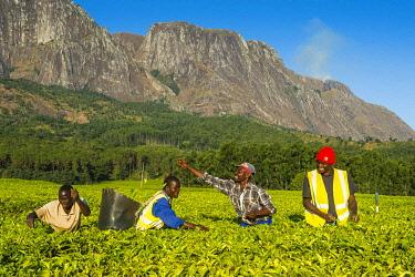 IBLRUN04828783 Tea pickers on a tea estate on Mount Mulanje, Malawi, Africa