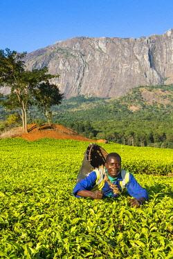 IBLRUN04828785 Tea picker on a tea estate on Mount Mulanje, Malawi, Africa
