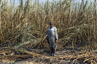 IBLRUN04828850 Sugar cane cutter in the burned sugar cane fields, Nchalo, Malawi, Africa