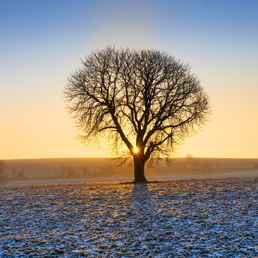 IBXAVI04832706 Sunrise in winter, Horse chestnut (Aesculus hippocastanum) on field with Rape (Brassica napus) Winter seed, hoarfrost, Burgenlandkreis, Saxony-Anhalt, Germany, Europe