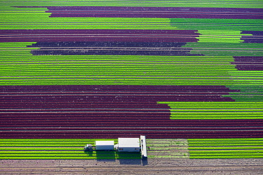 IBXHWE04845601 Harvester on lettuce field, cultivation of red and green lettuce in rows, Schleswig-Holstein, Germany, Europe