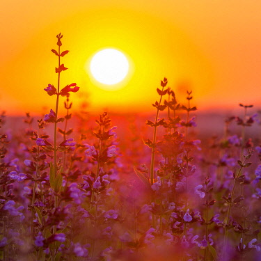 IBXPUR04859069 Sunrise over a field with flowering sage (salvia officinalis), cultivation, Freital, Saxony, Germany, Europe