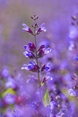 IBXPUR04859130 Sage (salvia officinalis) in bloom, Saxony, Germany, Europe