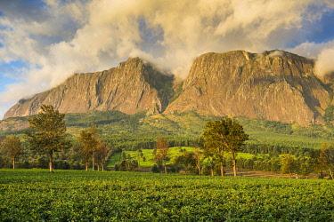 IBXRUN04828669 Tea plantation at Mount Mulanje, Malawi, Africa