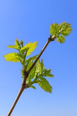 IBXTKE04823956 Grapevine in spring, Baden-Wurttemberg, Germany, Europe