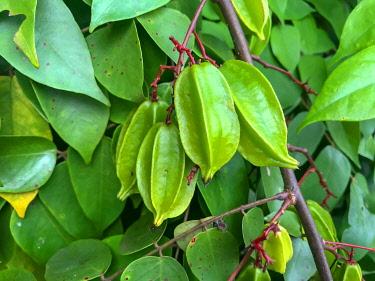 IBXUZI04859669 Carambola (Averrhoa carambola) on tree, cultivation on Zanzibar, Tanzania, Africa