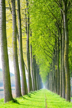 BEL1845AW Rows of trees along a canal in spring, Damme, West Flanders, Belgium