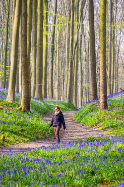 BEL1850AW Belgium, Vlaanderen (Flanders), Halle. Female hiker walks past bluebell flowers (Hyacinthoides non-scripta) in a hardwood beech forest in early spring in the Hallerbos forest. (MR)