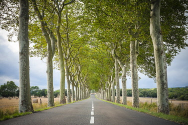 FRA11369AWRF Plane Trees (Platanus × acerifolia) along tree-lined highway, Aude Department, Languedoc-Roussillon, France.