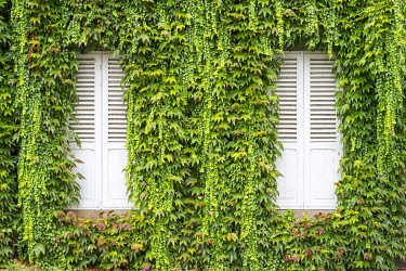 FRA11101AW Closed shutters on a house with vines (Parthenocissus tricuspidata) growing on wall, Argentat, Corrèze department, Limousin, France.