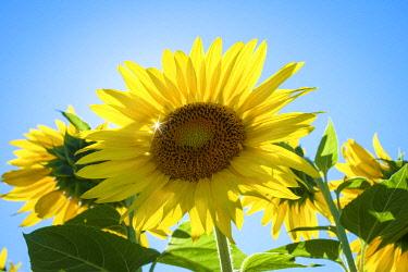 FRA11403AWRF Sun shining through giant yellow sunflowers in full bloom, Oraison, Alpes-de-Haute-Provence, Provence-Alpes-Côte d'Azur, France