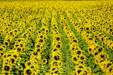 FRA11404AWRF Field of giant yellow sunflowers in full bloom, Oraison, Alpes-de-Haute-Provence, Provence-Alpes-Côte d'Azur, France