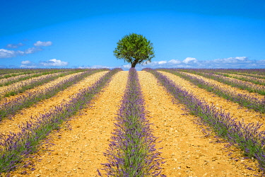 FRA11405AWRF Lavender fields in Provence in height of bloom in early July as the harvest begins on the Plateau de Valensole, Provence-Alpes-Côte d'Azur, France