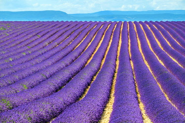 FRA11406AWRF Rows of purple lavender in height of bloom in early July in a field on the Plateau de Valensole, Provence-Alpes-Côte d'Azur, France