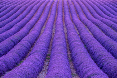 FRA11407AWRF Rows of purple lavender in height of bloom in early July in a field on the Plateau de Valensole, Provence-Alpes-Côte d'Azur, France