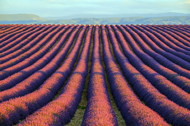 FRA11408AWRF Rows of purple lavender in height of bloom in early July in a field on the Plateau de Valensole at sunrise, Provence-Alpes-Côte d'Azur, France