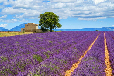 FRA11409AWRF House on the edge of a lavender field in full bloom in early July, Plateau de Valensole, near Valensole, Alpes-de-Haute-Provence, Provence-Alpes-Côte-d'Azur, France