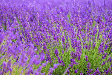 FRA11410AWRF Lavender blossoms in height of bloom in early July, Plateau de Valensole, near Puimoisson, Provence-Alpes-Côte d'Azur, France