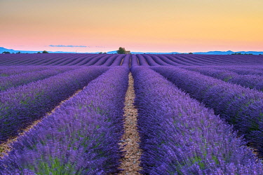 FRA11411AWRF Rows of purple lavender in height of bloom in early July in a field on the Plateau de Valensole at sunset, near Valensole, Alpes-de-Haute-Provence, Provence-Alpes-Côte d'Azur, France