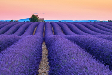 FRA11412AWRF Rows of purple lavender in height of bloom in early July in a field on the Plateau de Valensole at sunset, near Valensole, Provence-Alpes-Côte d'Azur, France
