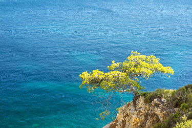 FRA11164AW Lone pine tree growing from rocky ledge over blue water, Calanque de Sugiton, Parc National des Calanques, Bouches-du-Rhône, Provence-Alpes-Côte d'Azur, France