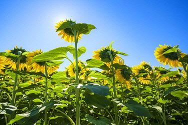 FRA11309AW Giant yellow sunflowers in full bloom, Oraison, Alpes-de-Haute-Provence, Provence-Alpes-Côte d'Azur, France