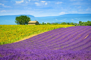 FRA11312AW Purple lavender and yellow sunflower fields in Provence in height of bloom in early July on the Plateau de Valensole, Provence-Alpes-Côte d'Azur, France